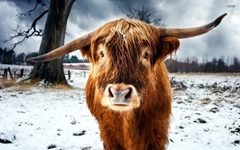 Scottish Wallpapers Highland Cattle