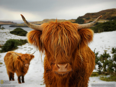 Highland Cattle Picture Animal Wallpapers