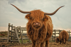 Texas Longhorn Cattle Wallpapers