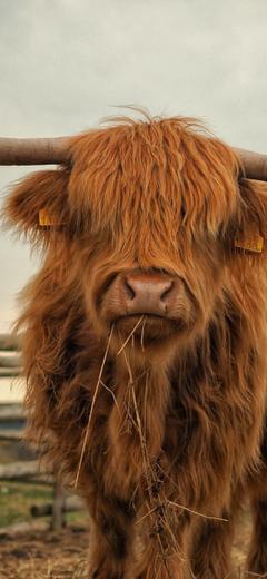 Cattle Highland Farm Fauna Grass For Iphone