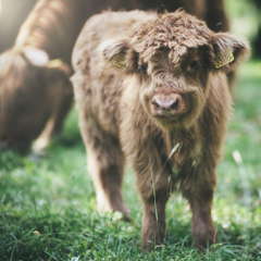 Highland Cattle Pictures