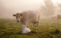 Highland Cattle Calf Grazing Pasture Grass 16 10