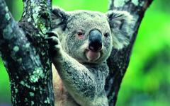 Fonds d Koala tous les wallpapers Koala