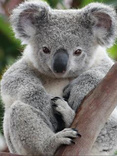 Animal Koala Mobile Wallpapers