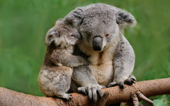 Koala Bear Wallpapers