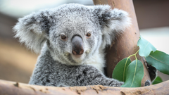 Koala Hd Wallpapers backgrounds