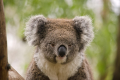 My Koala HD Wallpapers New Tab Theme