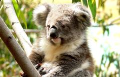 Koala Australia Hd Wallpapers