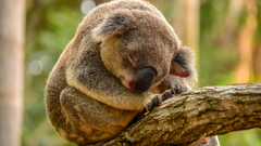 Hd Sleeping Koala Wallpapers