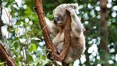 Adult koala HD wallpapers