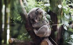 Gray koala animals koalas HD wallpapers