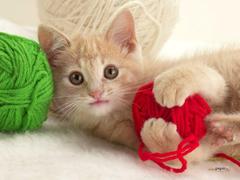 Playful Kitten Wallpapers