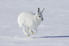 Arctic Hare HD Wallpapers