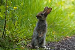 Desktop Wallpapers Hares Rodents Grass Animals