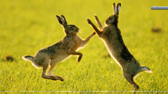 Sparring Hares Wallpapers