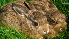 A Pair of Hares Wallpapers