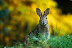 Curious hare HD Wallpapers