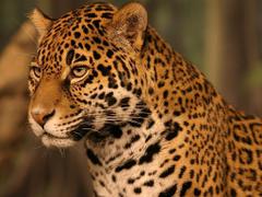 Jaguar Wallpapers