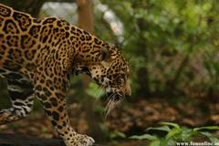 Jaguars Wallpapers