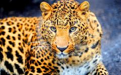 Dangerous jaguar Wallpapers