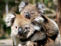 Mother and Baby Koala Australia