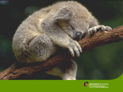sleeping koala wallpapers