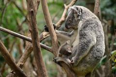 Koala wallpapers by Shutter
