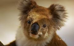 Australian national treasure naive koala wallpapers
