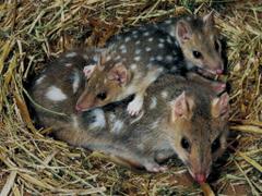 MOM AND BABY MONITO DEL MONTE Colocolo colocolo opossum