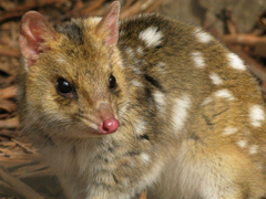 The Cute Polka Dot Eastern Quolls Begin Their Reintroduction