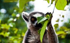 Lemur HD Desktop Wallpapers
