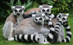 Lemurs Wallpapers Lemurs Animals Wallpapers in jpg format for