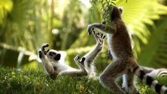 Ring Tailed Lemurs HD Wallpapers