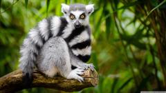 Ring Tailed Lemur 4K HD Desktop Wallpapers for 4K Ultra HD TV