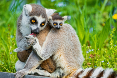 Wallpapers Lemurs lemur animals Cute animals summer Animals