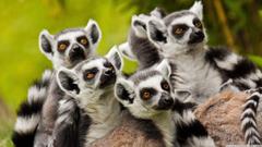 Lemurs Animals 4K HD Desktop Wallpapers for 4K Ultra HD TV