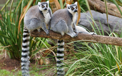 Animals Lemurs Wallpapers Hd Wallpapers13
