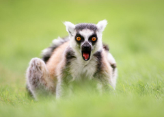 Wallpapers Lemurs Surprise emotion Ring