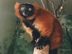 Wallpapers Tagged With Lemurs Primates Lemurs Red Black Animals