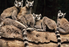 Lemurs Tag wallpapers Lemurs Family Little Baby Wallpapers Of
