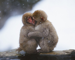 Snow hugged the monkey wallpapers
