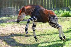 Okapi Wallpapers