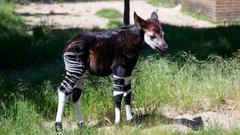 Best 56 Okapi Backgrounds on HipWallpapers