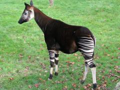 nice Okapi Picture