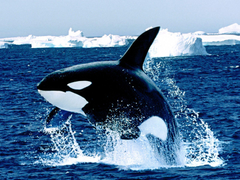 Emerging orca killer whale desktop backgrounds