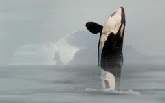 Killer Whale Photos Orca Wallpapers