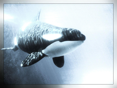 shamu Whales Killer Animals Orca wallpapers