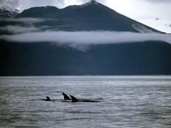 Wallpapers For Killer Whale Pod Wallpapers