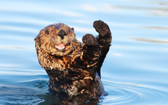 Otters wallpapers