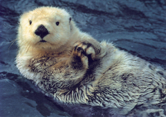 Sea Otter Wallpapers Design Ideas Hd Adorable Sea Otters